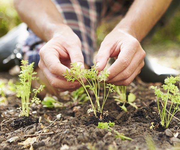 close up of hands tending herbs in garden